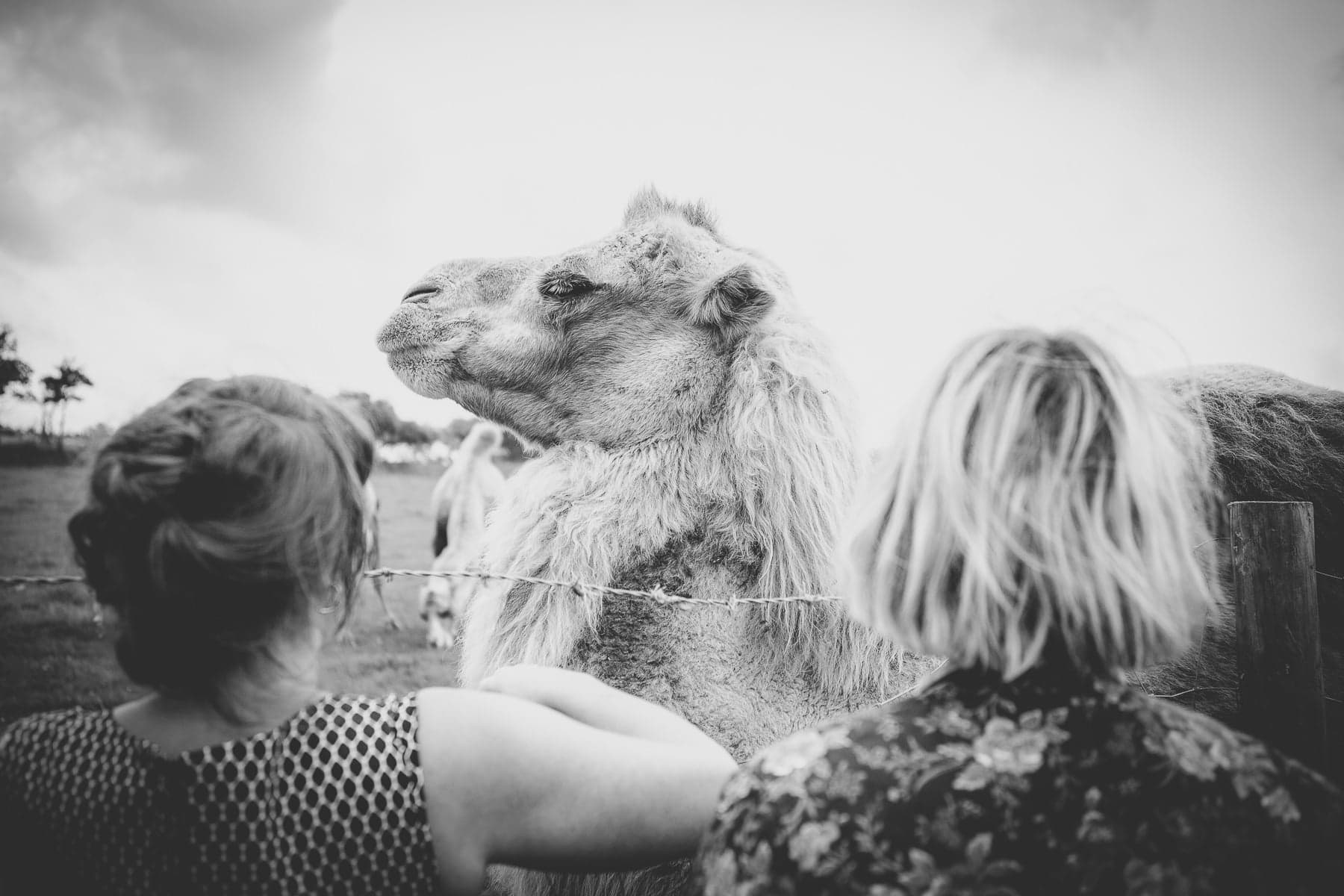 Cornish Camels Wedding